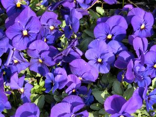 紫のすみれ