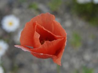 赤い花 寄りで撮る