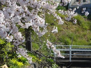 小さな川の上の桜