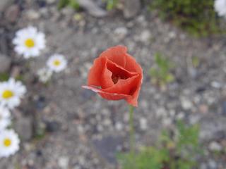 赤い花 引きで撮る
