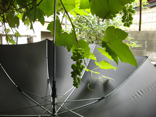 傘と葡萄のコラボレーション