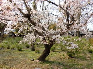 桜の季節です〜〜