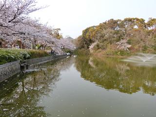 茶臼山の桜