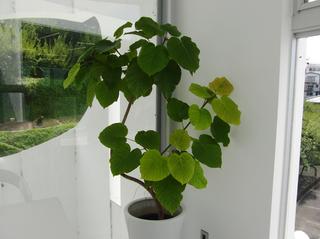 ラボの観葉植物です〜